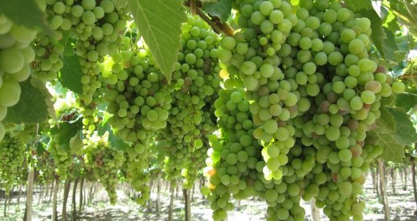 pisco_grapes